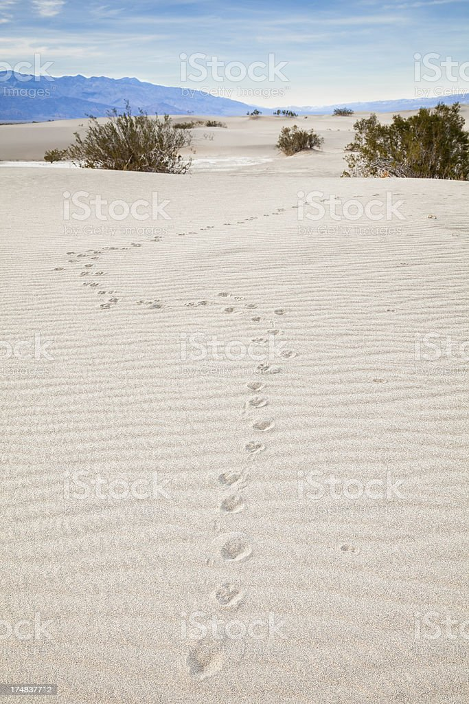 Coyote Tracks in the Desert royalty-free stock photo
