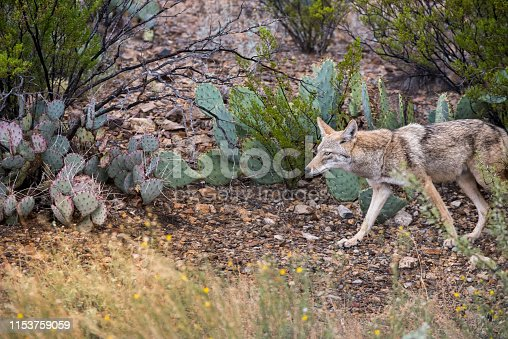Arid climate bushes with coyote