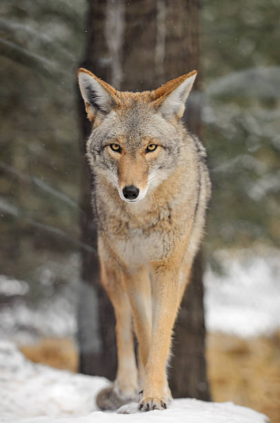 Coyote (Canis latrans) Walks in the Snow stock photo