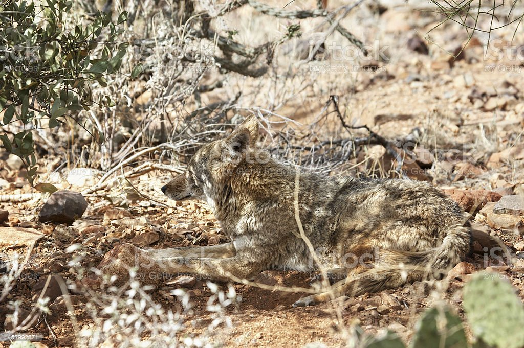 Coyote well camouflaged in Sonoran Desert Arizona royalty-free stock photo