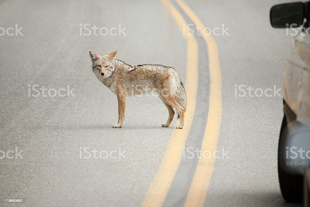 Coyote while crossing the street royalty-free stock photo