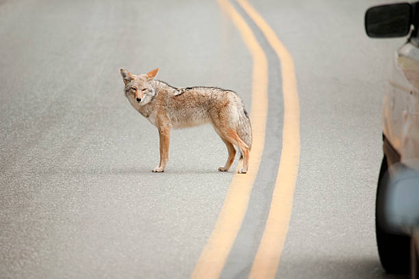 Coyote while crossing the street stock photo