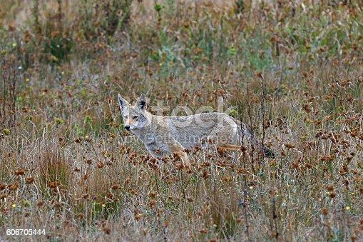 Coyote in brush tundra hiding along California coastal hillside