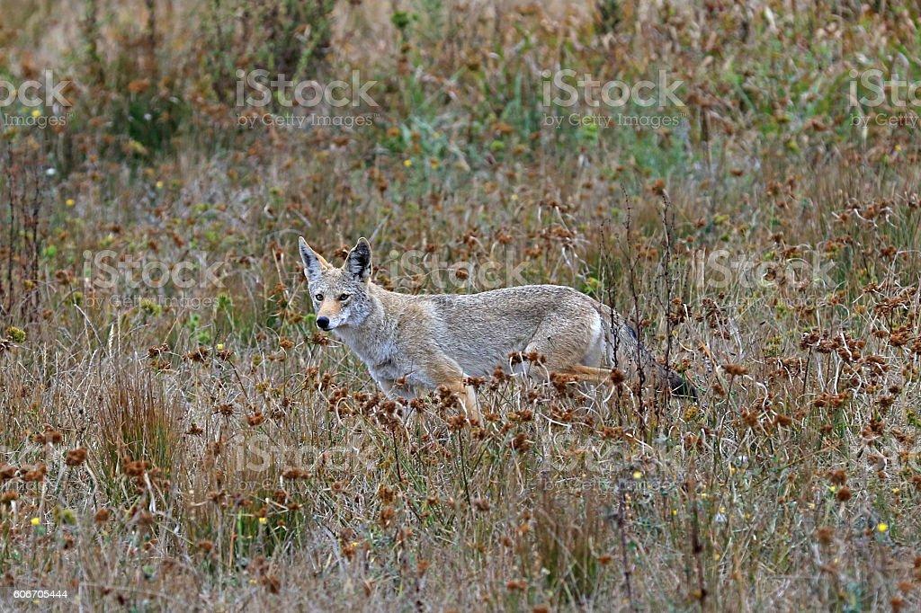 Coyote wildlife along California coast hill stock photo