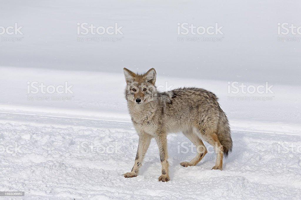Coyote, Winter, Yellowstone NP stock photo
