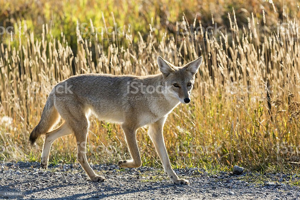 Coyote with Rim Light royalty-free stock photo