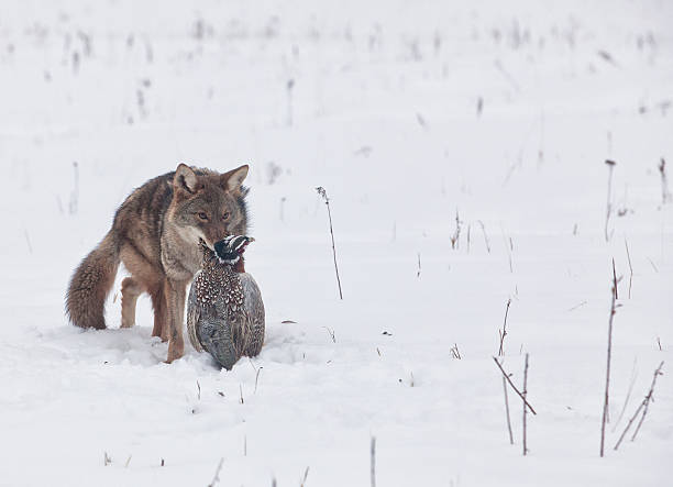 Coyote with ring necked pheasant stock photo