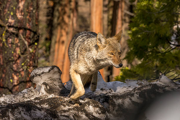 https://media.istockphoto.com/photos/coyote-works-in-yosemite-california-picture-id506846224?k=6&m=506846224&s=612x612&w=0&h=kNwPhxvowBhTmkH8534gNwb5BuD-6FswgOld6oCTG_A=