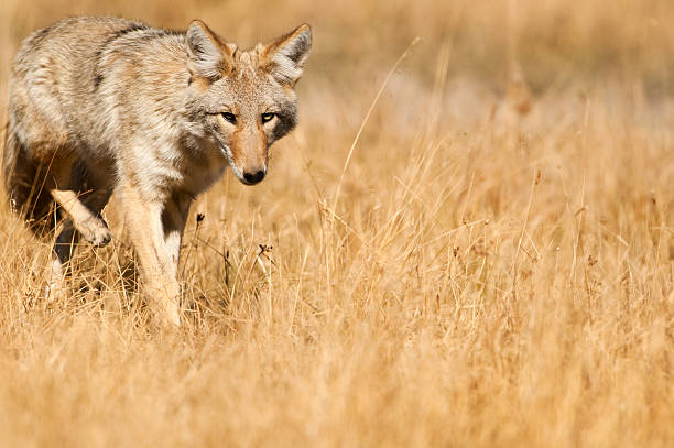 Coyote - Yellowstone NP stock photo