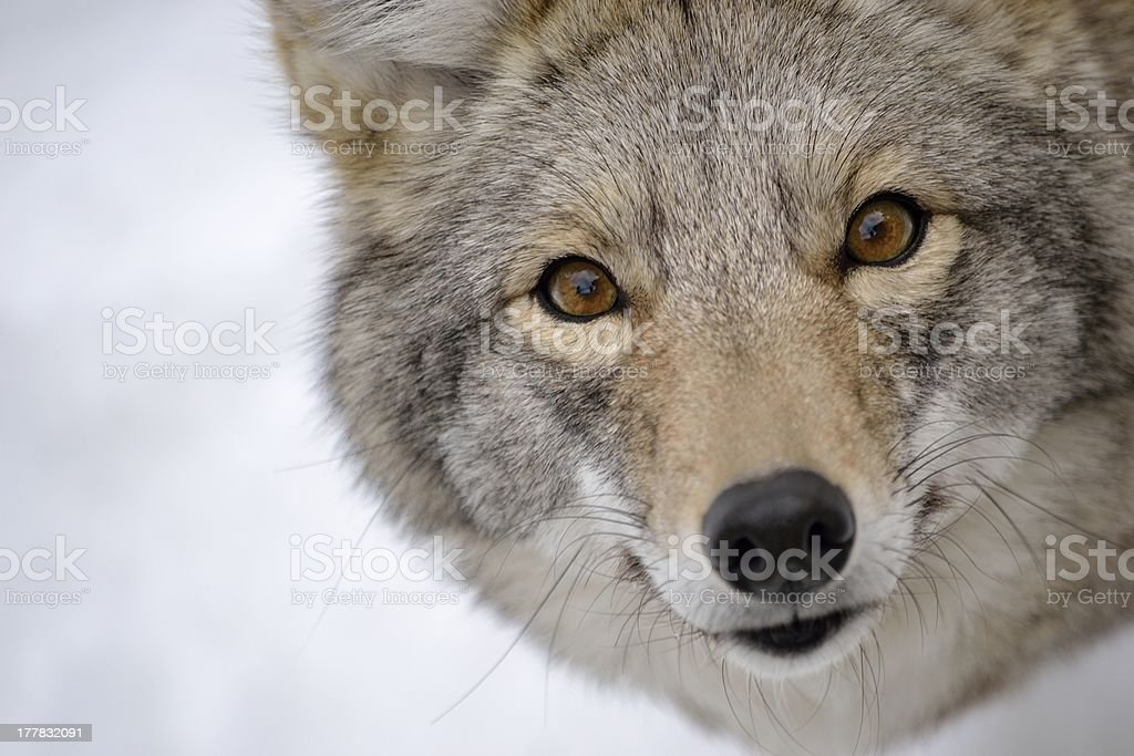 coyote's face stock photo