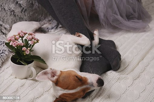 618750646 istock photo Cozy lazy day at home. Woman wearing soft warm wool socks relaxing at home, playing with dog, jack Russel terrie Relaxing, comfy lifestyle. 860682128