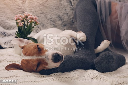 618750646 istock photo Cozy lazy day at home. Woman wearing soft warm wool socks relaxing at home, playing with dog, jack Russel terrie Relaxing, comfy lifestyle. 860682214