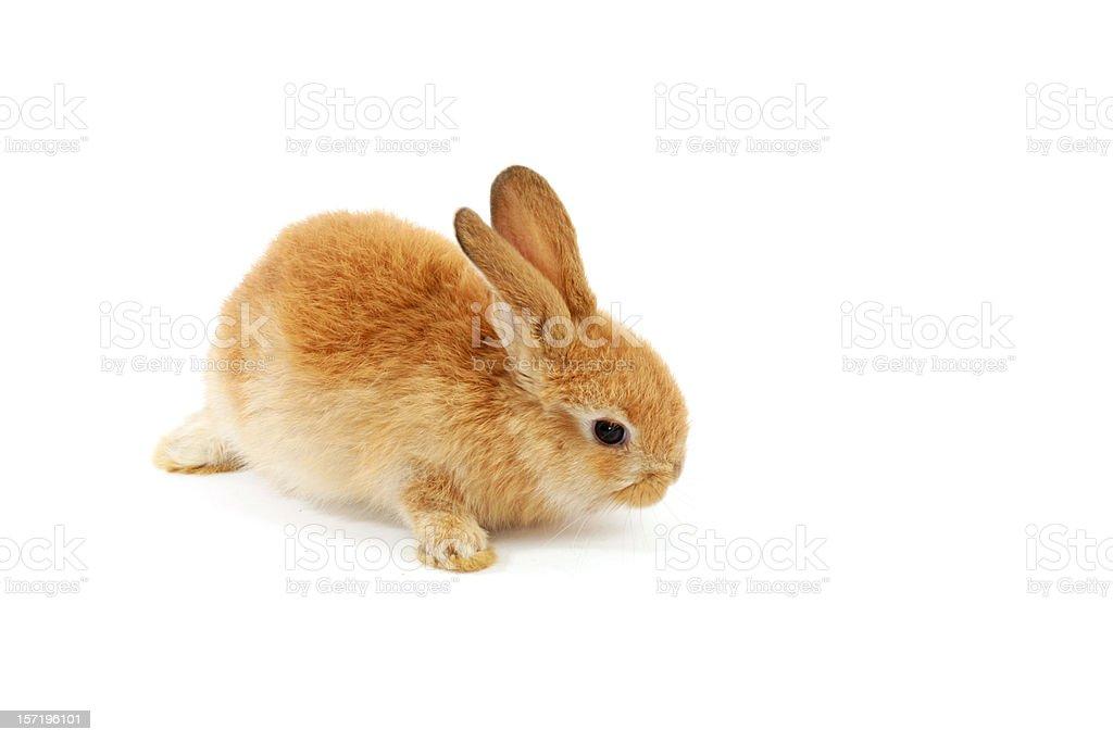 cozy rabbit royalty-free stock photo