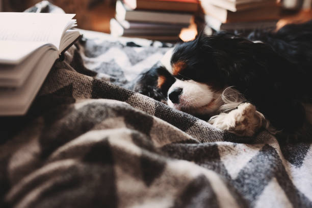 cozy winter home with dog sleeping on bed on warm blanket, book and cup of tea. Authentic house interior. stock photo