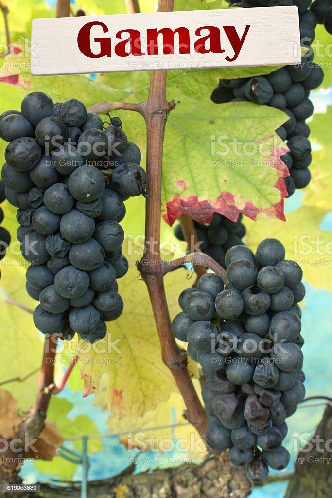 Cépage Gamay - Vignoble - Raisin noir stock photo