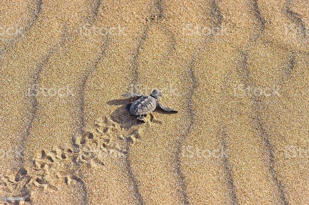 Cría de tortuga boba (C. caretta) royalty-free stock photo
