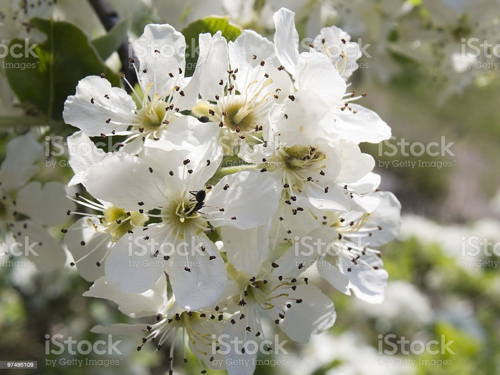 Crab apple blossoms in the spring royalty-free stock photo