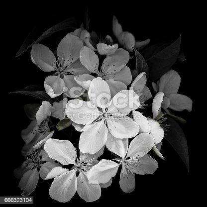 Monochrome image of a cluster of white crab apple blossoms isolated on a black background.