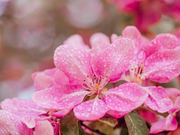 Crab apple flowers closeup, blooming tree spring stock photo