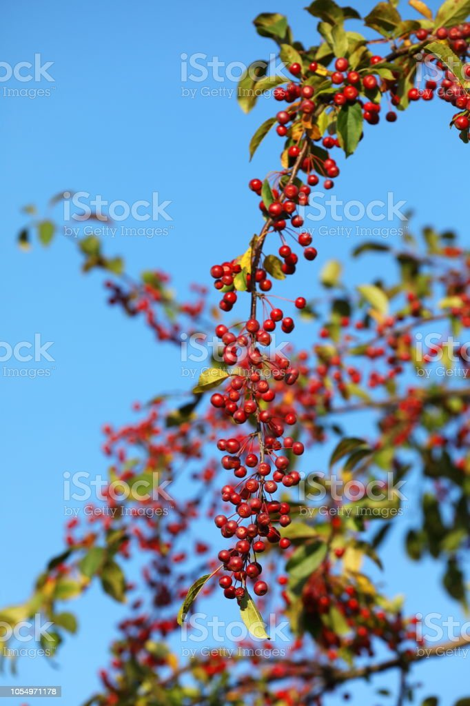 Crab apple - malus baccata on blue sky stock photo