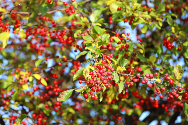 crab apple - malus baccata on blue sky - pejft stock photos and pictures