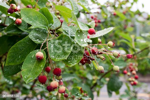 Crab Apple Tree Branch With Fruit And Raindrops Stock Photo & More Pictures of Apple - Fruit