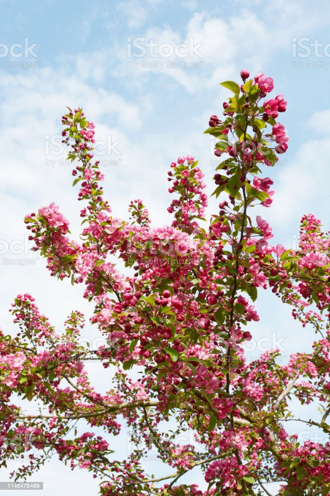 Crab Apple Tree Branches Covered In Pink Blossom Stock Photo