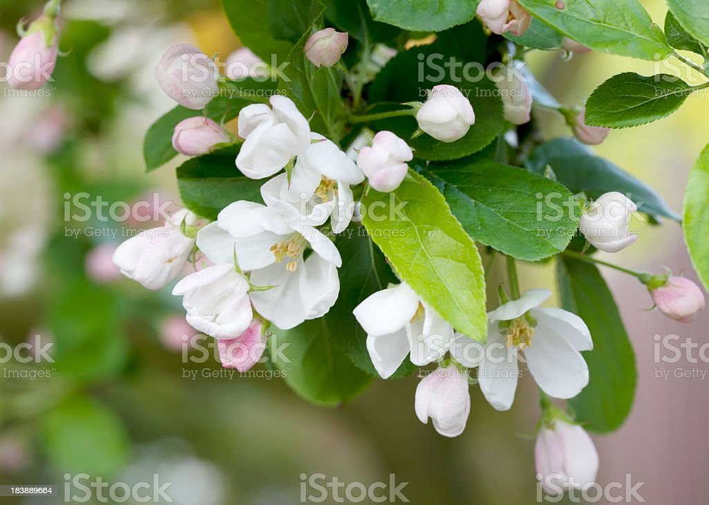 Crab Apple Tree (Malus pumila) in Blossom foto