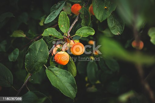 Apple, Tree, Fruit, Crab Apple Tree, Organic Fruit Orchard, Fruits On Tree