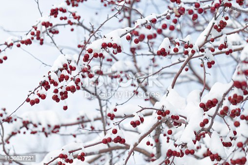 Red berries on a crab apple tree in winter.