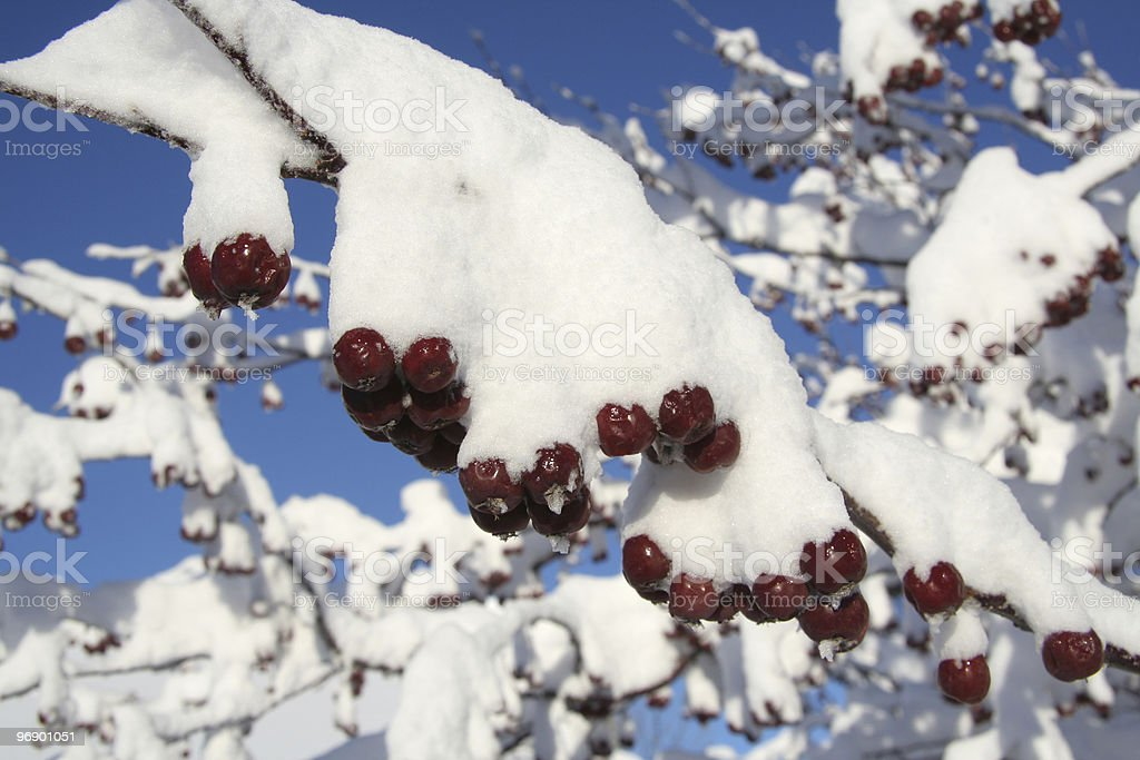 Crab Apples Covered with snow on Tree royalty-free stock photo
