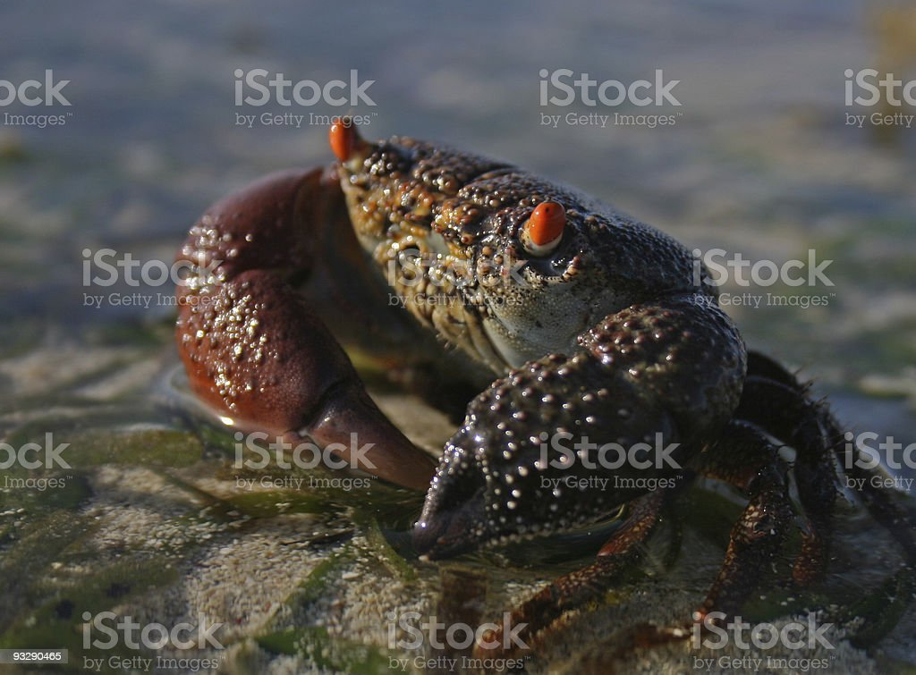 Crab at low tide, Kenya stock photo