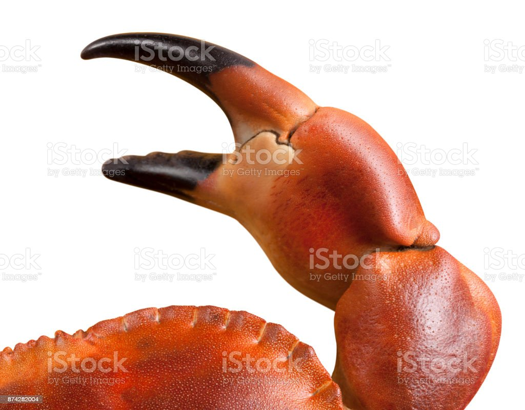 Crab bodybuilder. Cheliped of the crab on a white background. stock photo