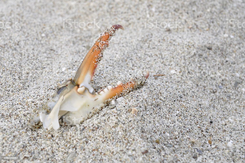 Crab claw on sand stock photo