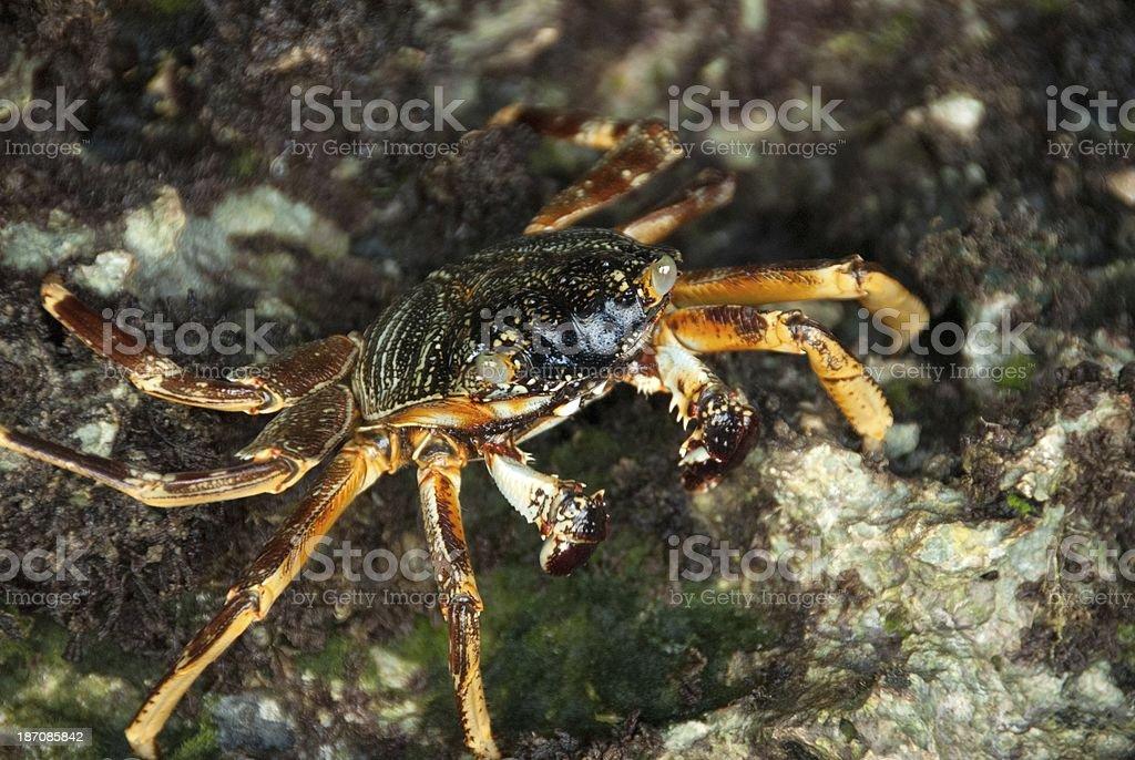 Crab Close-up royalty-free stock photo