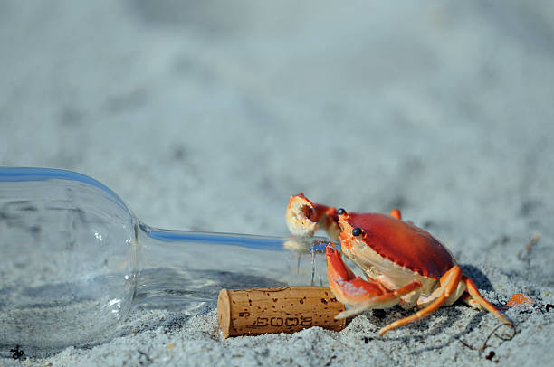 Crab Drinking from an Empty Wine Bottle stock photo