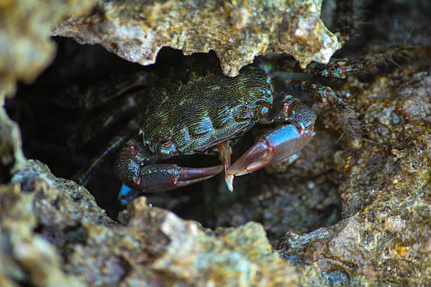 Crab eat a cuttlefish bone in the rock Crab hidden among the rocks bobtail squid stock pictures, royalty-free photos & images