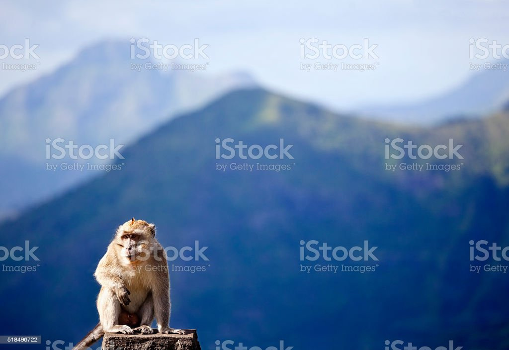 Crab Eating Macaque in Mauritius Mountains stock photo