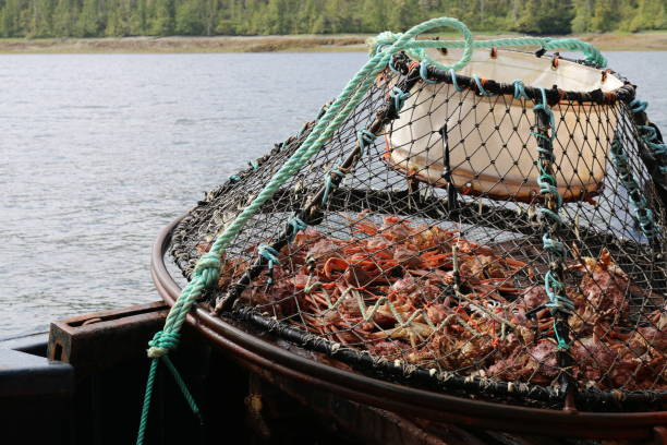 Crab Fishing Trap A crab trap with lots of crabs in Ketchikan, Alaska. ketchikan stock pictures, royalty-free photos & images