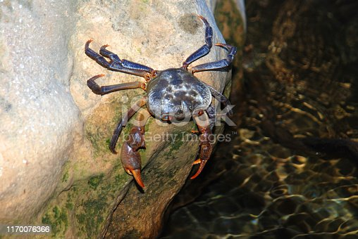 Cave Crab