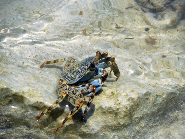 Crab in Montego Bay Water stock photo