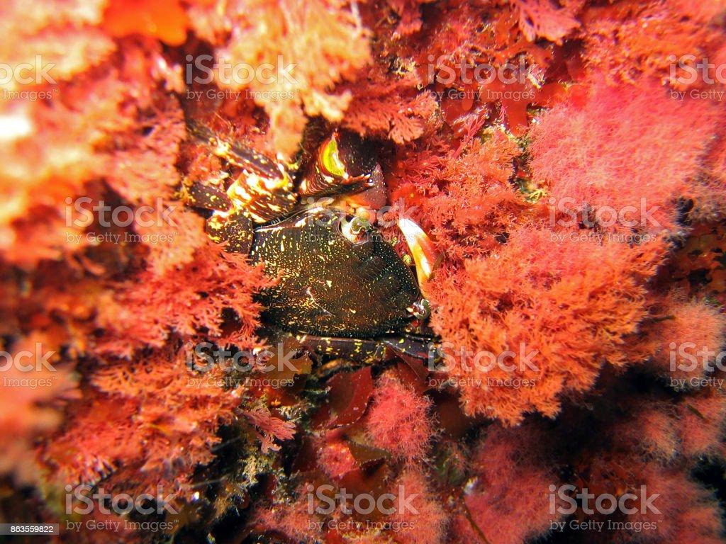 Crabe en Algue rouge - Photo