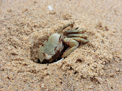 Crab is digging a hole in the sand