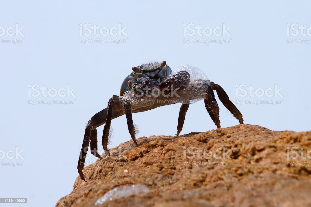 Crab making froth close up stock photo