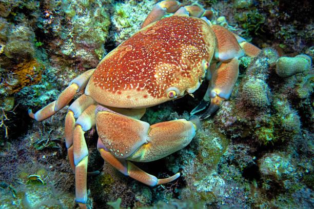 Crab - Nassau, Bahamas stock photo