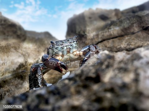 Wild Crab on a Rock on Coastline.