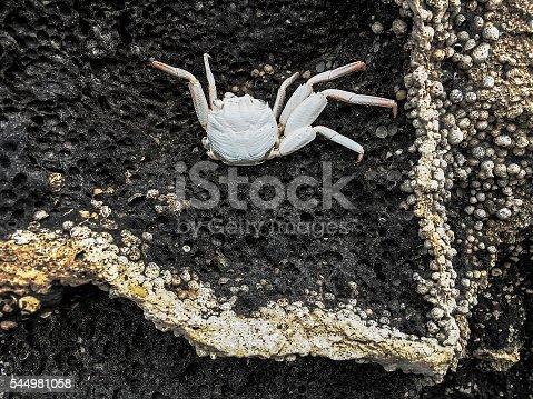 Shedded crab exoskeleton on black lava rock. Big Island, Hawaii.