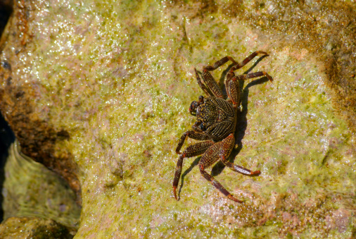 Crab on the rock covered with green algae, Red Sea