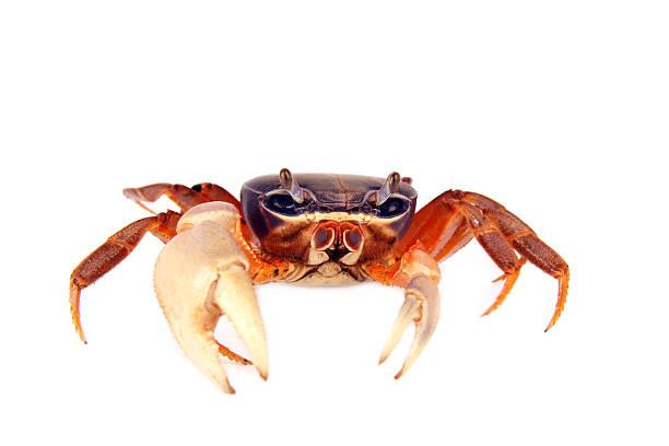 crabe - crabe photos et images de collection