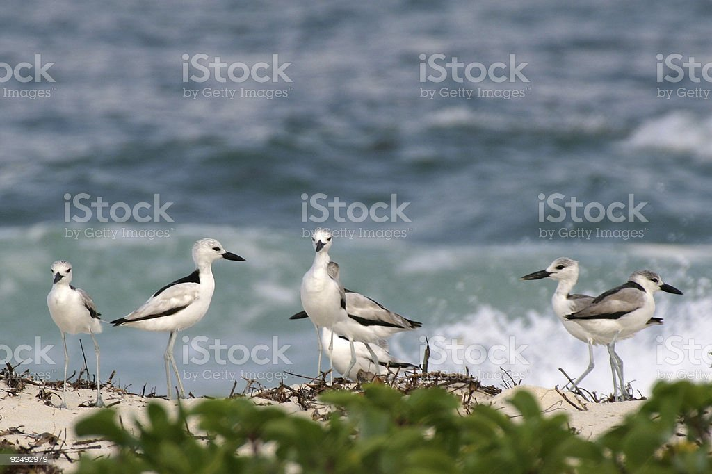 Crab Plovers royalty-free stock photo